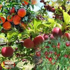 Medley Fruit Tree