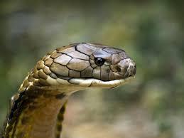 cobra head profile.  Head King Cobra And Cobra Head Profile L