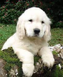 <b>Puppy</b> - Wikipedia