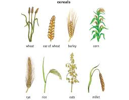 Wheat Noun Definition Pictures Pronunciation And Usage Notes