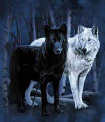 white wolf and black wolf fighting. Delighful Wolf The Old Cherokee Replies  Intended White Wolf And Black Fighting C