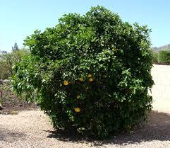 lemon tree x: scientific citrus x paradisi grapefruittree scientific citrus x paradisi