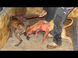 mean pitbull dogs fighting. Wonderful Mean Pitbull Dog Fighting Undercover Bad Ownership  Documentary YouTube To Mean Dogs Fighting
