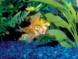 petco goldfish. Wonderful Goldfish Goldfishjpg Throughout Petco Goldfish