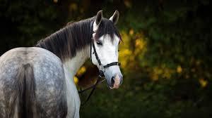 Lovely Gray Horse Desktop Wallpaper Hd Wallpapers13com