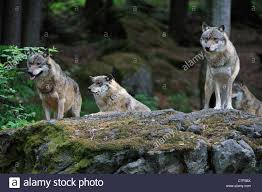 gray wolf pack in forest. Exellent Forest European Grey Wolf Pack Canis Lupus Scanning Woodland For Prey From Rock  Bavarian On Gray Pack In Forest W