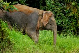 photo essay the pygmy elephants of borneo borneo elephant 5