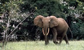 wild animals in african forest. Modren African African Forest Elephant In Gabon And Wild Animals In Forest E