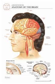 Brain Chart Body Scientific International Post It Anatomy Of Brain Chart Teaching Supplies Classroom Safety