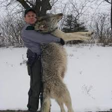 picture of biggest wolf ever picture of biggest wolf with human