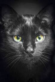 black cats with blue eyes for sale. Wonderful Sale Check This Out  Black Cats With Blue Eyes For Sale Collect To T