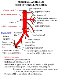 The terminal ends of the ilioinguinal nerves in the female are referred to as: Instant Anatomy Abdomen Vessels Arteries Abdominal Aorta Branches Abdominal Aorta Arteries Anatomy Human Anatomy And Physiology