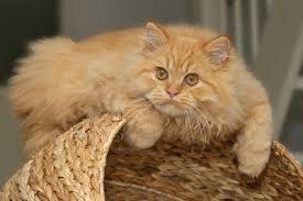 orange persian cat.  Orange And Orange Persian Cat O