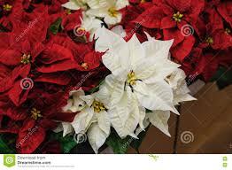 Rote Und Weiße Blumen Weihnachtsstern Stockbild Bild Von