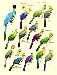 Chart Of Different Turacos Tuneful Turacos Birds Bird