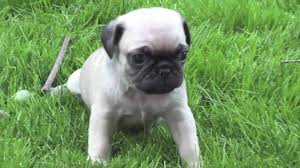 cute baby white pugs. Unique Pugs On Cute Baby White Pugs B