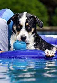 chien chats marrants piscine Images?q=tbn:ANd9GcQ3GLLg6RIv-jqRUx2wFmZ4A5NsL4VtV9BVA3CRUoMRacdmipA-