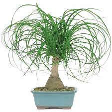 Decorative Indoor Trees Ponytail Palm Bonsai Tree Walmartcom