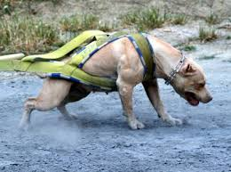 pitbull dog vs doberman. Beautiful Doberman The Pit Bull Is Another Top Guard Dog Intended Pitbull Dog Vs Doberman A