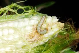 Controlling Corn Earworm on Sweet Corn | Kentucky Pest News