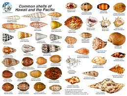 Common Shells Of Hawaii And The Pacific Sea Shells