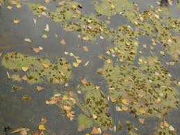 still water texture. Water Texture In Dark, Murky Tone With Dry, Yellow Leaves And Green Particles Floating Still