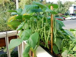 most of the beans are climbers or bushier type and they grow upward they are ive in pots and are easy to grow you can grow them on a trellis near a