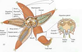 circulatory system of starfish words essay on the circulatory 12 photos of the circulatory system of starfish
