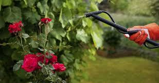 Cuidado De Las Rosas En Miniatura  FlorpediacomCuidados De Los Rosales