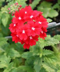 Garden Centre Kitchener Buy Verbena In Kitchener Waterloogreenway Blooming Centre