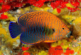 Potter's Angelfish, Centropyge potteri | Angel fish, Saltwater fish tanks,  Marine fish tanks