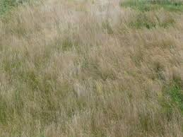 tall grass texture. Sope Texture, Covered With Tall Tan Grasses And Shorter Patches Of Bright Green Grass. Grass Texture K