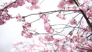 Spring Cherry Blossom Background In Stock Footage Video 100 Royalty Free 1010345351 Shutterstock
