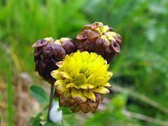 Trifoglio bruno [Trifolium badium]