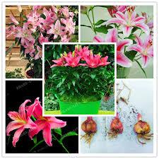 2 Bulbs 100% True Pink Lily Bulbs Bonsai Flower Indoor Plant ...