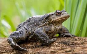 garden frogs. Exellent Garden A Common Toad Bufo Bufo Adult Sitting On A Log Inside Garden Frogs M