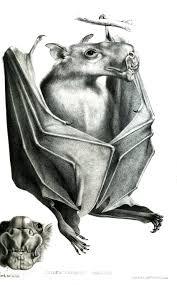 Bat Species Chart Hammer Headed Bat Wikipedia