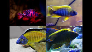 My Top 10 Peacock Cichlids