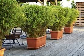 Growing Bamboo In Pots: Can Bamboo Be Grown In Containers