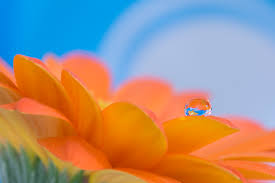 水滴とガーベラ
