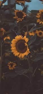 Sunflower iphone wallpaper, Sunflower ...