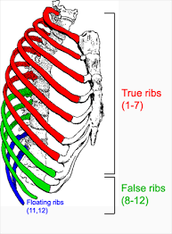 This item can be dropped. The Thoracic Cage The Ribs And Sternum Human Anatomy And Physiology Lab Bsb 141