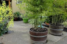 Grow bamboo plants in pots
