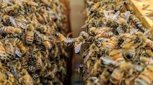 Αποτέλεσμα εικόνας για bees