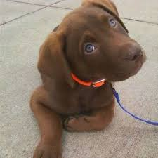 chocolate lab australian shepherd mix. Unique Chocolate To Summarize In Conclusion We Have Seen That The Australian Shepherd Lab  Mix  Inside Chocolate T