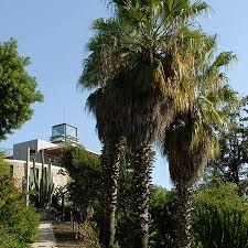 fan palm trees. mexican fan palm for sale trees