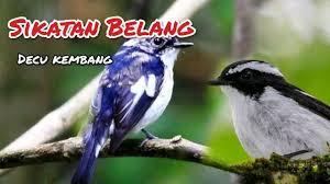 Suara pikat burung decu betina gacor cocok pancing. Decu Kembang It Is Found In The Indian Subcontinent