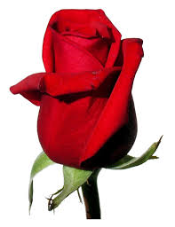 rose red white background