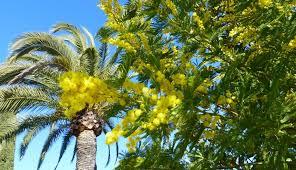 """Résultat de recherche d'images pour """"photo mimosas"""""""