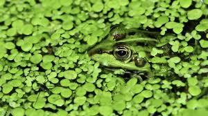 freshwater wallpaper. Exellent Freshwater Freshwater Frog Intended Freshwater Wallpaper 6
